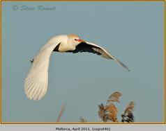 cattle-egret-46.jpg