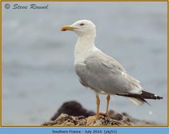 yellow-legged-gull-51.jpg