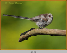 long-tailed-tit-49.jpg