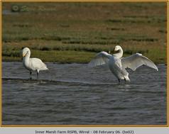 bewick's-swan-02.jpg