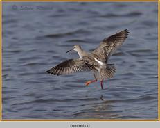 spotted-redshank-15.jpg
