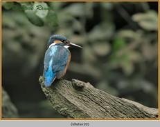 kingfisher-20.jpg