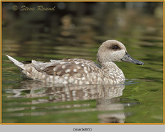 marbled-duck-05c.jpg