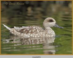 marbled-duck-05c.jpg