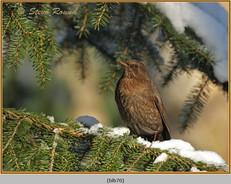 blackbird-70.jpg