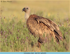 griffon-vulture-44.jpg