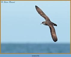 manx-shearwater-19.jpg