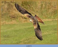 red-kite-57.jpg