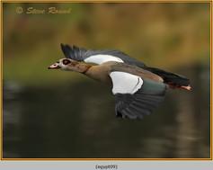 egyptian-goose-09.jpg