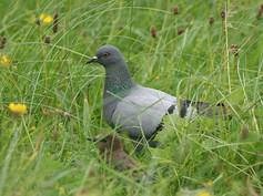 rock-dove-02(14-8-06).jpg