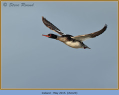red-breasted-merganser-23.jpg
