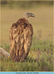 griffon-vulture-48.jpg