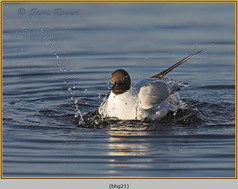 black-headed-gull-21.jpg