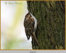 treecreeper-41.jpg