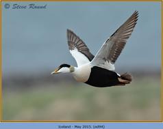 eider-duck- 94.jpg