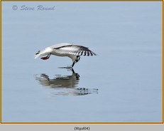 little-gull-04.jpg