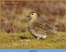 golden-plover-38.jpg