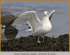 ring-billed-gull-12.jpg