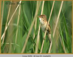 reed-warbler-05.jpg