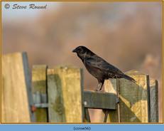 carrion-crow-56.jpg
