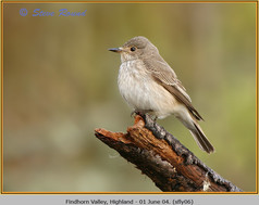 spotted-flycatcher-06.jpg
