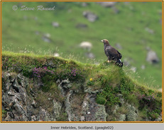 golden-eagle-02.jpg