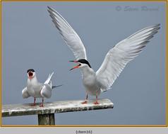 common-tern-16.jpg