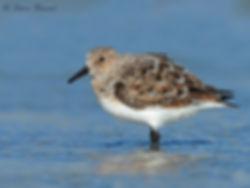 sanderling 74.jpg