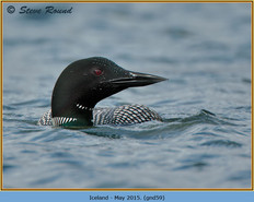 great-northern-diver-59.jpg