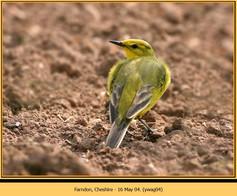 yellow-wagtail-04.jpg