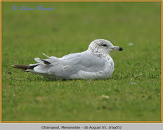 ring-billed-gull-05.jpg