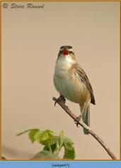 sedge-warbler-47.jpg