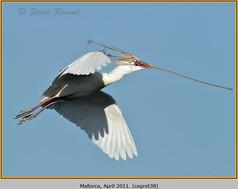cattle-egret-38.jpg