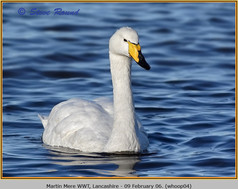 whooper-swan-04.jpg