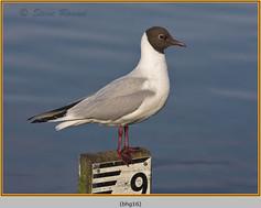 black-headed-gull-16.jpg