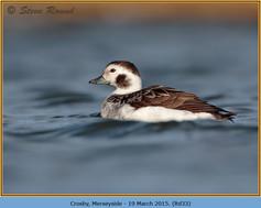 long-tailed-duck-33.jpg