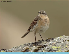 water-pipit-12.jpg