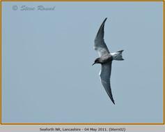 black-tern-02.jpg