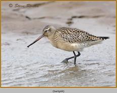bar-tailed-godwit-44.jpg