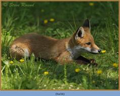 fox-56.jpg