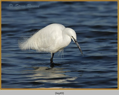 little-egret-49.jpg