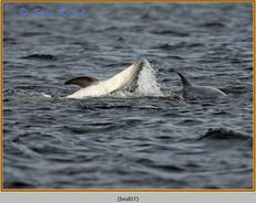 bottlenose-dolphin-07.jpg