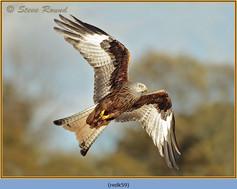 red-kite-59.jpg
