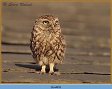 little-owl-19.jpg