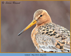 black-tailed-godwit-102.jpg