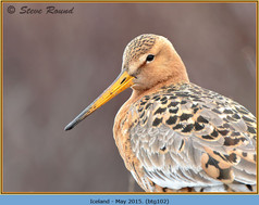 black-tailed-godwit-102.jpg