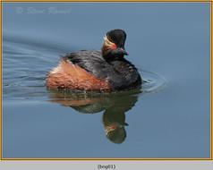black-necked-grebe-01.jpg