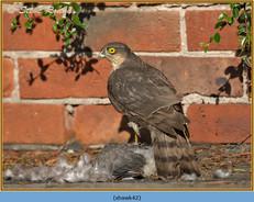sparrowhawk-42.jpg