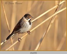 reed-bunting-50.jpg