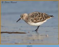 sanderling-93.jpg
